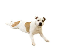 Staffordshire bullterrier Stock Images