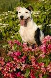 Staffordshire-Bullterrier Lizenzfreies Stockbild