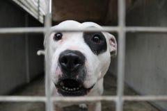 Staffordshire-Bullterrier hinter Gittern Stockbilder