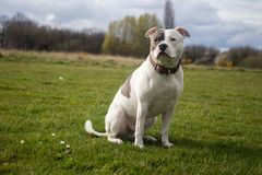 Staffordshire-Bullterrier-Hund, der in Park geht stockbild