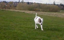 Staffordshire-Bullterrier-Hund, der in Park geht lizenzfreies stockfoto