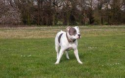 Staffordshire-Bullterrier-Hund, der in Park geht stockbilder