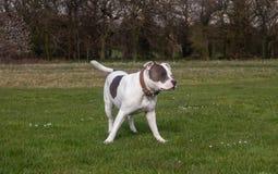 Staffordshire-Bullterrier-Hund, der in Park geht stockfotografie