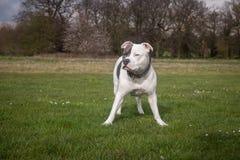 Staffordshire-Bullterrier-Hund, der in Park geht lizenzfreie stockbilder