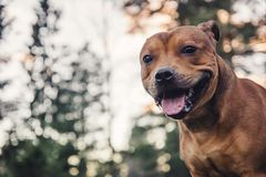 Staffordshire bullterrier portrait in forest during sunset. stock photos