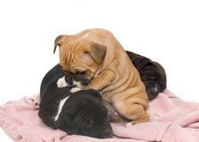 Staffordshire bullterrier pups Royalty Free Stock Photography