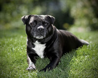 Staffordshire Bullterrier Relaxing Royalty Free Stock Photo