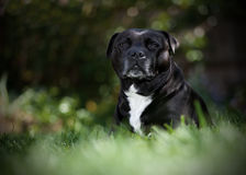 Staffordshire Bullterrier Sitting Stock Images