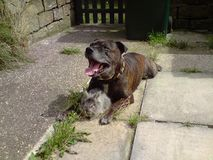 Staffordshire bullterrier 19 years old Stock Photography