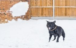 Staffordshire-Bullterrierhund, der im Schnee und im Abstreifen a spielt Stockbilder