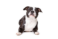 Staffordshire-bulterrier. In front of a white background Royalty Free Stock Photo