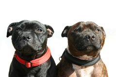 Staffordshire dog. Two shaffordshire bull terriers, isolated on white Royalty Free Stock Photography