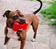 Staffy dog and toy Stock Photos