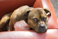 Staffordshire-Hund Lizenzfreies Stockbild