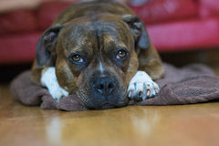 Staffordshire-Hund lizenzfreie stockbilder