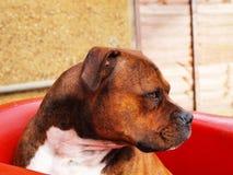Staffordshire hund Arkivbilder