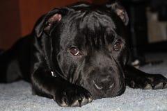 Staffordshire negro hermoso potente bull terrier Foto de archivo
