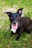 Staffordshire negro Terrier imagenes de archivo