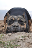 staffordshire psi terier Fotografia Royalty Free