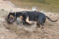 staffordshire psi terier Zdjęcie Stock