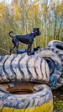 A dog on tyres Stock Images