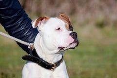 Staffordshire teriera trakenu psa portret obraz stock