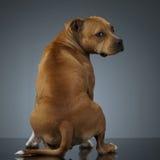 Staffordshire Terrie que olha para trás, em uma tabela do estúdio Imagens de Stock