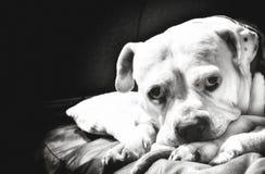 staffordshire terrier Arkivbild
