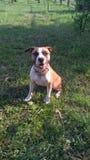 Staffordshire Terrier immagini stock
