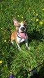 Staffordshire Terrier fotografia stock libera da diritti