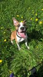 Staffordshire Terrier lizenzfreies stockfoto