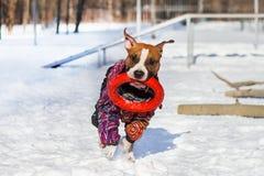 Staffordshire Terrier imagem de stock royalty free