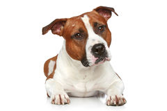 Staffordshire terrier Stock Image