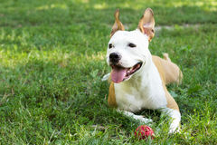Staffordshire Terrier Obrazy Stock