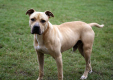 Staffordshire Terrier Stockfotos