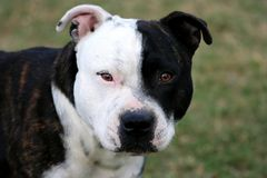 Staffordshire Terrier. Portrait of a handsome black and white Staffordshire Terrier royalty free stock photo