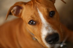 Staffordshire Terrier Fotografia de Stock Royalty Free