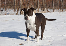 Staffordshire Terrier Stockbilder
