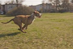 Staffordshire Terrier americano Fotografie Stock Libere da Diritti