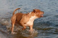 Staffordshire Terrier americano bonito que vadeia na água da entrada fotografia de stock