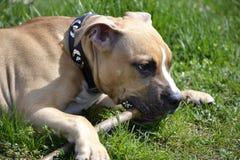 Staffordshire Terrier americano che gioca con un bastone Fotografie Stock Libere da Diritti