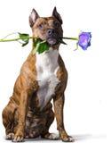 Staffordshire Terrier americano con una rosa blu Fotografia Stock Libera da Diritti