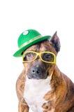 Staffordshire Terrier americano no chapéu e em vidros verdes antes do fundo branco Fotos de Stock Royalty Free