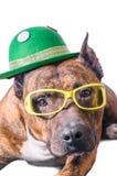 Staffordshire Terrier americano no chapéu e em vidros verdes antes do fundo branco Imagem de Stock