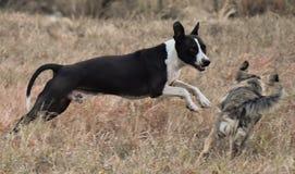 Staffordshire Terrier americano que juega en la granja fotografía de archivo