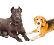 Staffordshire terrier and beagle Stock Photos