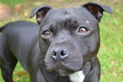 Staffordshire terrier. Black female Staffordshire terrier aged one year and two months Stock Photo