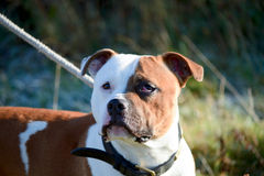 Staffordshire terrier cross-breed type dog portrait Stock Images