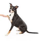 Staffordshire Terrier Cross Shaking Paw Royalty Free Stock Image