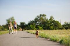 Staffordshire-Terrier, der mit großem Stock läuft Lizenzfreies Stockfoto